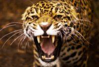 Download Suara Panggil Jaguar Arif Budiman