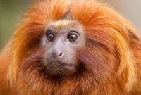 Suara Walet Monyet Api