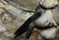 Suara pemanggil burung walet super terbaik